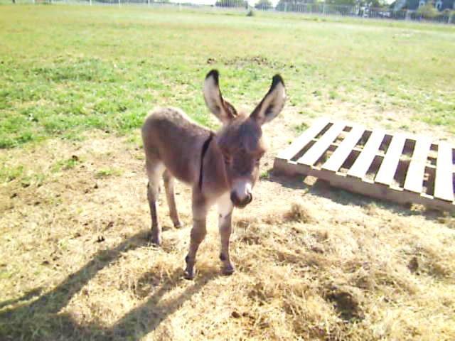 Miniature Donkeys For Sale
