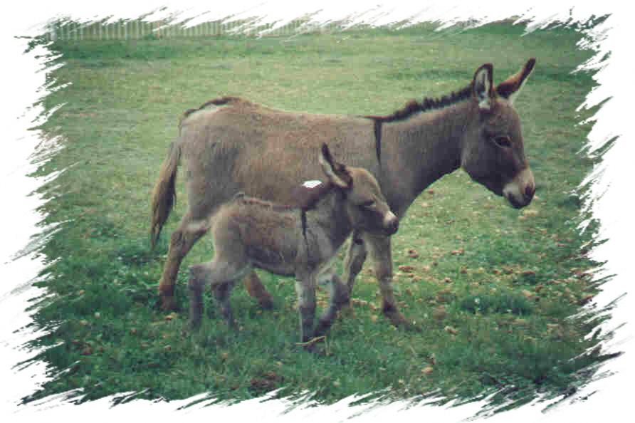 Mini Donkeys For Sale In Nh
